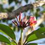 Mid-Spring in my N.E. Downunder Garden (Oct) - Plumeria begins another blooming cycle