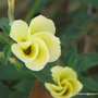 Mid-Spring in my N.E. Downunder Garden (Oct) - Turnera subulata opening in the morning
