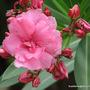 Mid-Spring in my N.E. Downunder Garden (Oct) - Nerium oleander
