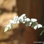 Mid-Spring in my N.E. Downunder Garden (Oct) - Salvia leucantha 'White Velour'
