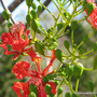 Mid-Spring in my N.E. Downunder Garden (Oct) - first of the Delonix regia blooms
