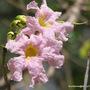 Mid-Spring in my N.E. Downunder Garden (Oct) - Tabebuia heterophylla blooms
