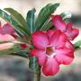 Mid-Spring in my N.E. Downunder Garden (Oct) - Adenium obesum
