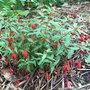 Fuchsia pumila (Fuchsia pumila)