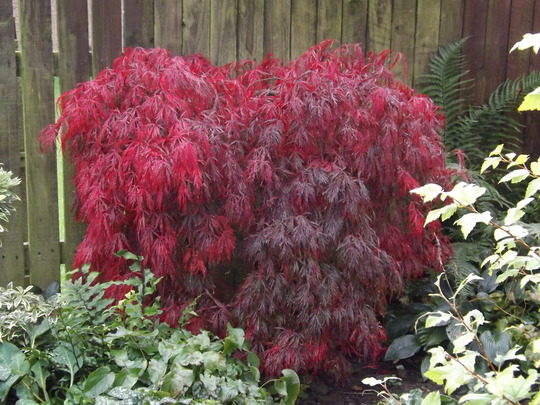 Acer - it's taken a while but it's finally got there! (Acer palmatum dissectum 'Crimson Queen')