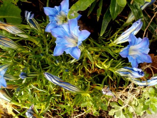gentian blue (Gentiana sino-ornata (Gentian))