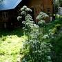 Valeriana Peaking (Valeriana officinalis (Arznei-Baldrian))