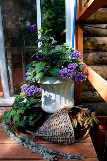 Back Porch Sunspot (Heliotropium arborescens (Cherry Pie))
