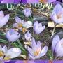 Saffron Autumn Crocus