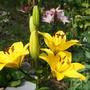 Lily Parade 1
