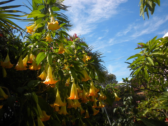 Brugmansia 'Jamaican Yellow' Flowering (Brugmansia 'Jamaican Yellow')