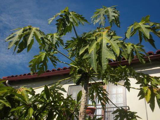 Carica papaya 'Thai Dwarf'  (Carica papaya 'Thai Dwarf')