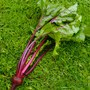 Little Beets.... (Beta vulgaris (Beetroot))