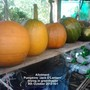 Allotment_pumpkins_jack_o_lantern_drying_in_greenhouse_08_10_2013_001