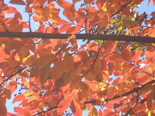 Autumn Leaves Crepe Myrtle