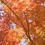 Crepe Myrtle Nanchez Tree in Autumn