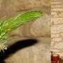 Albuca bracteata (Albuca bracteata)
