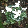 Cyclamen flowering since August - this was a present last Xmas. (Cyclamen)