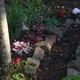 I have cleared an over large dark boring shrub and planted cyclamen with Heucheras (Cyclamen)