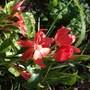 Schizostylis (Kaffir lily) coccinea 'Major'