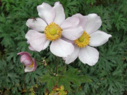 Anemone hupehensis (Japanese anemone) 'Pink Saucer'  (Anemone hupehensis (Japanese anemone))