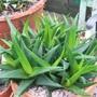 Haworthia_angustifolia_3_
