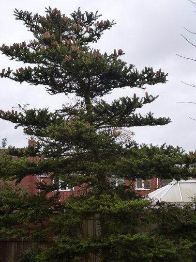 Spruce Tree in all its glory, probably need a prune in the near future!