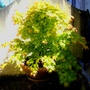 Container with acer (Acer)