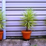 Containers with yuccas (yucca)