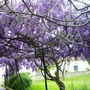 Wisteria in early spring
