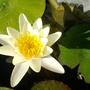 Waterlilly 'alba'