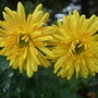 Chrysanthemum_twins