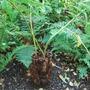 Dicksonia antarctica (Soft tree fern)