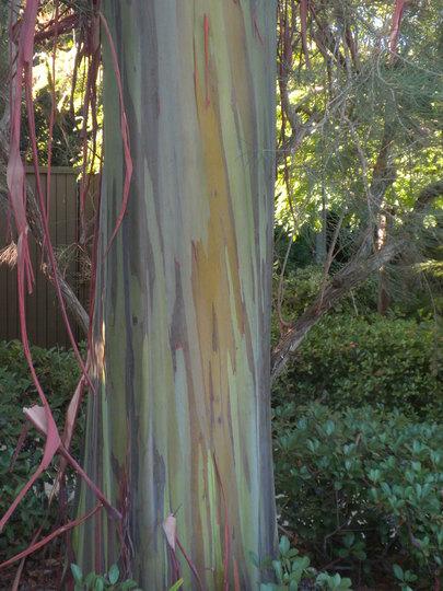 Eucalyptus deglupta - Mindanao Gum Tree Trunk (Eucalyptus deglupta (Mindanao Gum))