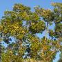 Eucalyptus deglupta - Mindanao Gum