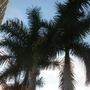Roystonea regia - Royal Palms at Sunset (Roystonea regia - Royal Palm)