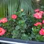 Hibiscus rosa-sinensis - Tropical Hibiscus (Hibiscus rosa-sinensis - Tropical Hibiscus)