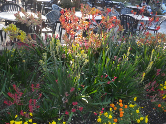 Anigozanthos hybrids - Kagaroo Paw Plants at San Diego Zoo (Anigozanthos hybrids - Kagaroo Paw)