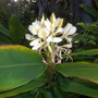 Hedychium flavescens - Yellow Ginger Flowers (Hedychium flavescens - Yellow Ginger)