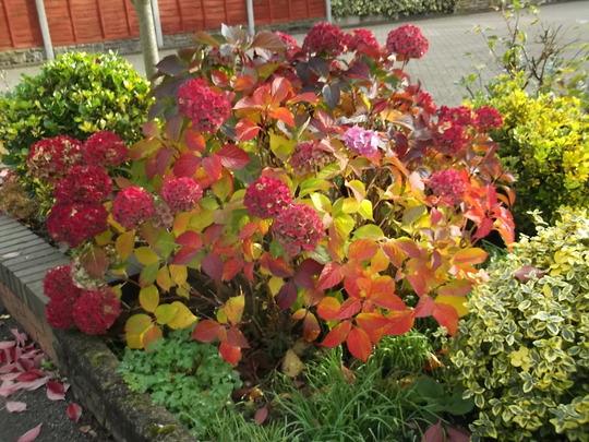 MY FAVOURITE HYDRANGEA (unfortunately in neighbours garden)