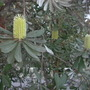 Banksia species blooming (Banksia)