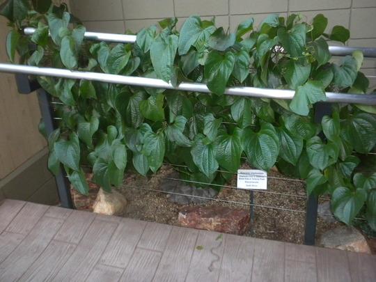 Dioscorea elephantipes - Elephant's Foot (Dioscorea elephantipes - Elephant's Foot)