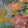 Liquidamber_leaves