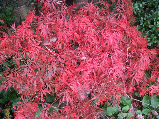 Acer in its autumn glory (Acer palmatum (Japanese maple))