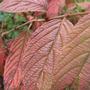 Cornus_leaves