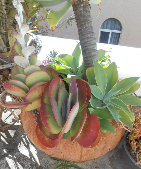 Kalanchoe thyrsiflora in the pot (Kalanchoe thyrsiflora)