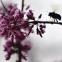 Bumble Bee Loves Red Bud