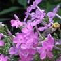 Bee_on_phlox