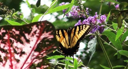 Swallow Tail Butterfly on Butterfly Bush
