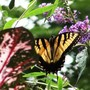 Butterfly_on_butterfly_bush_2